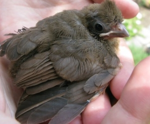 Baby-Cardinal-in-Hands_iab
