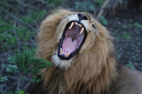 lion-1933656_640